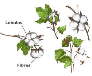 Planta del algodón
